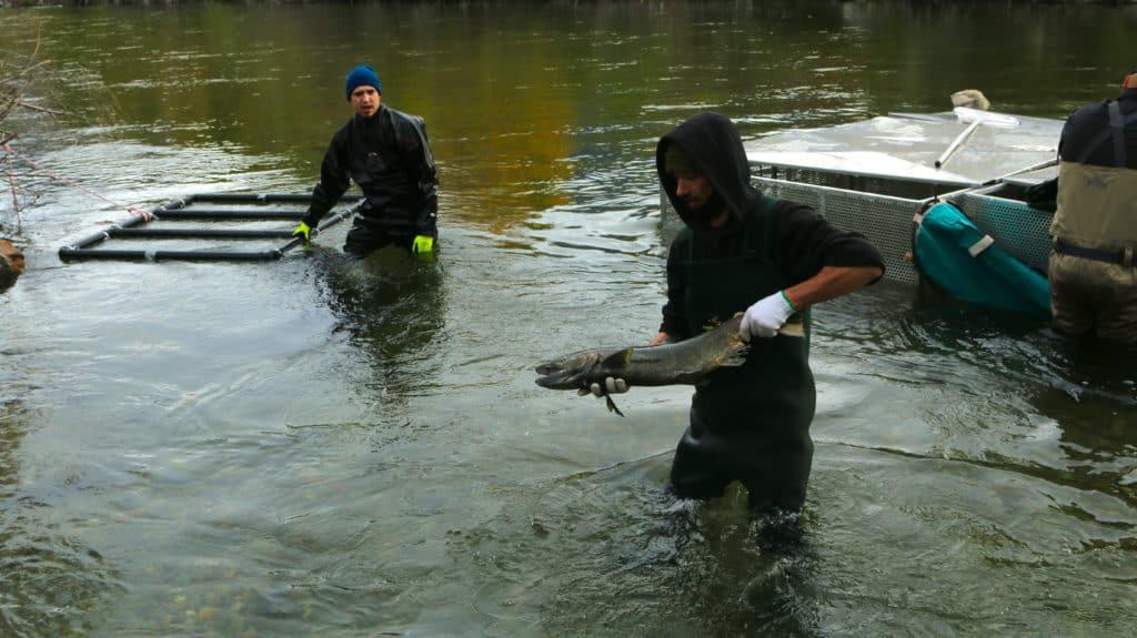 sockeye salmon to okanagan
